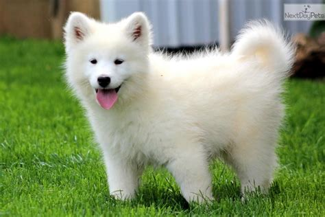 samoyed puppy for sale samoyed pictures and photos 1 breeds picture