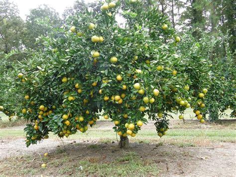 Potatura Cachi Periodo by Cachi Alberi Da Frutta Pianta Kaki