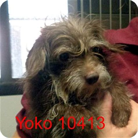 yorkie poodle mix for adoption baltimore md yorkie terrier poodle miniature mix meet yoko a for