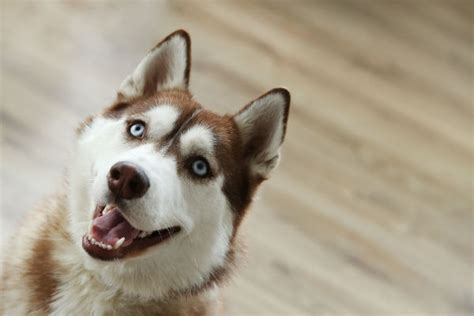 how to your husky to be a guard 10 things only a siberian husky owner would understand american kennel club