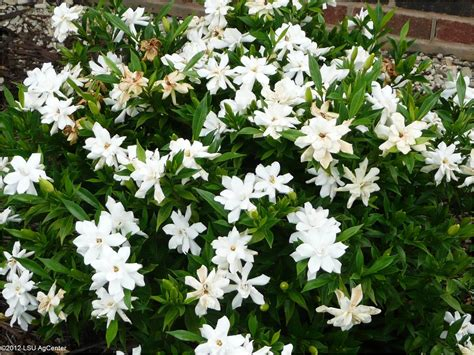 Gardenia Shrub Fragrant Plants Louisiana Blooms