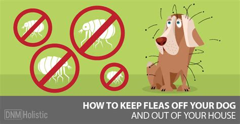 updated   home remedies  fleas