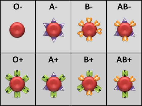 Anatomy And Physiology Blood Type Pictures