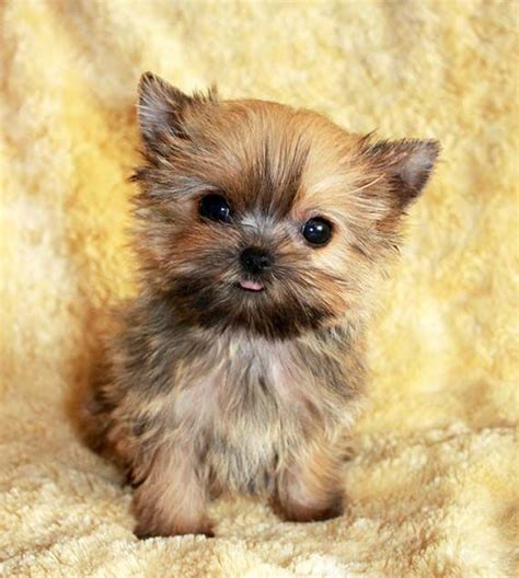 maltese yorkie grown best 25 morkie puppies ideas on yorkie terrier mix teacup maltese