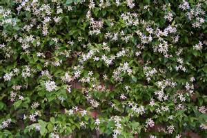 North Star Landscaping by Gallery For Gt Star Jasmine Plant