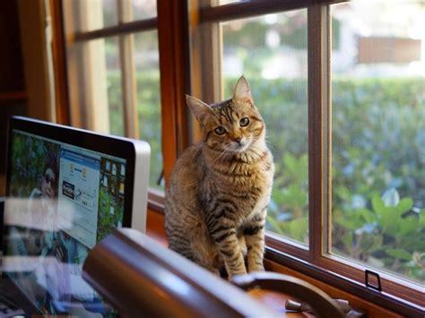 gatos en casa tener un gato en casa razones ventajas inconvenientes