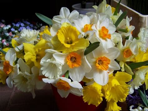 narcisi fiori narciso coltivazione