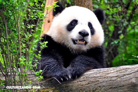 libro oso panda oso panda cosas fascinantes que no sab 237 as sobre los osos pandas fotos