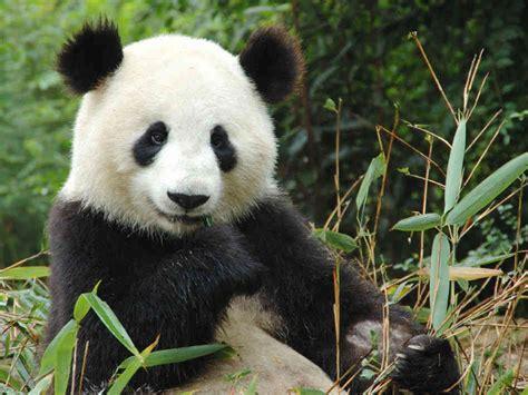 blue black and wight panda cute black and white panda colors photo 34704638 fanpop