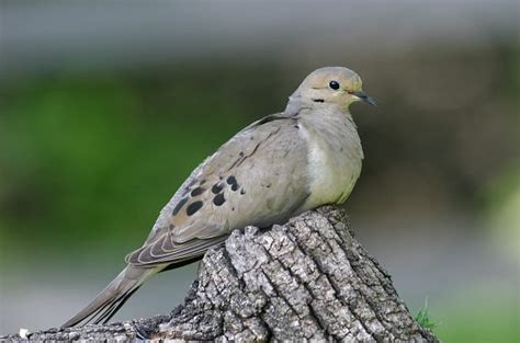 mourning dove attracting birds birds and blooms