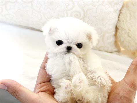 places to sell puppies for free best place to rent a property sell a car find a available beautiful teacup