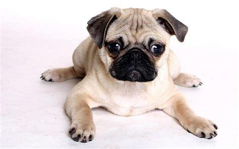 best pug pug wallpapers hd