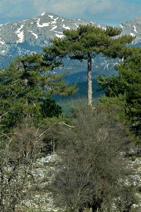 foreste  conifere  decidue dellanatolia meridionale