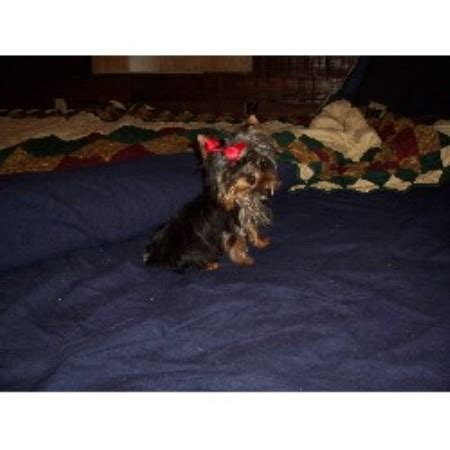 yorkie puppies for sale in lafayette la kajun bayou kennels terrier breeder in lafayette louisiana