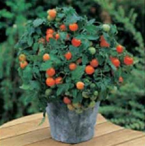 Benih Tomat Betavila benih tomat garden pearl