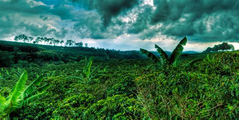 coffee plantation wallpaper coffee plantation panorama by otas32 on deviantart