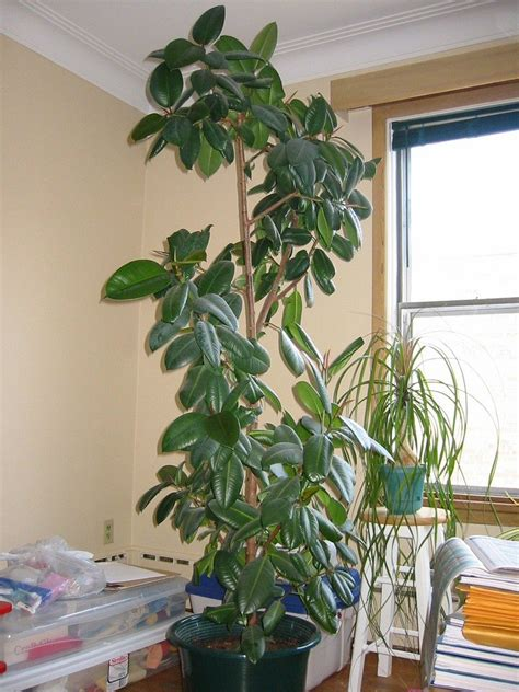 pruning  rubber tree plant   trim  rubber tree plant