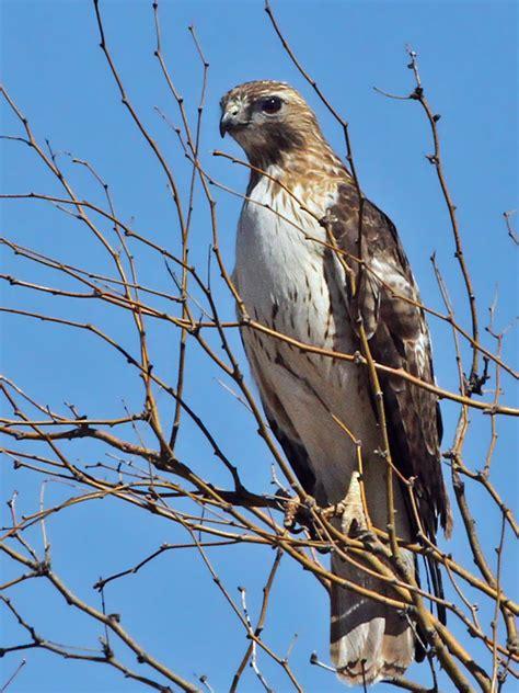 img 8108 red tailed hawk eastern jpg photo dick dionne