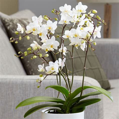 buy moth orchid phalaenopsis white willd orchid