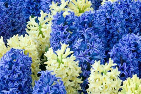 fiore giacinto giacinto poesie giacinto poesie sulle piante