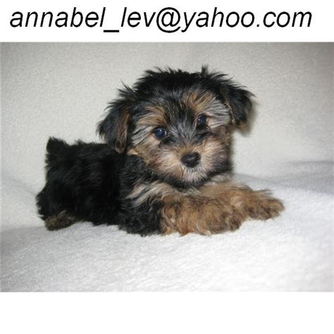 yorkies in ohio teacup yorkie for sale ohio breeds picture