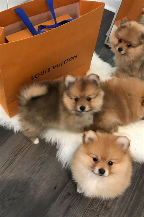pomeranian puppies for sale somerset 3 pomeranian puppies for sale weston mare somerset pets4homes