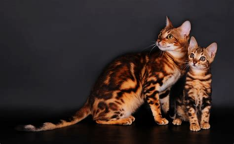 Bengal cats on a gray background wallpapers and images