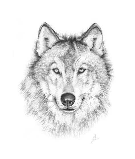 wolves drawings 5 animal portraits lydia carline