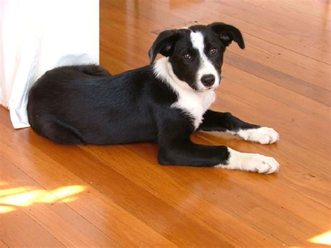 meg-lge   How cute is that? Border Collie and Huntaway ...