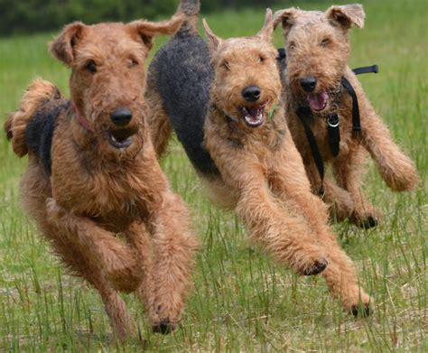 airedale terrier puppies terriers list of all terrier breeds k9 research lab