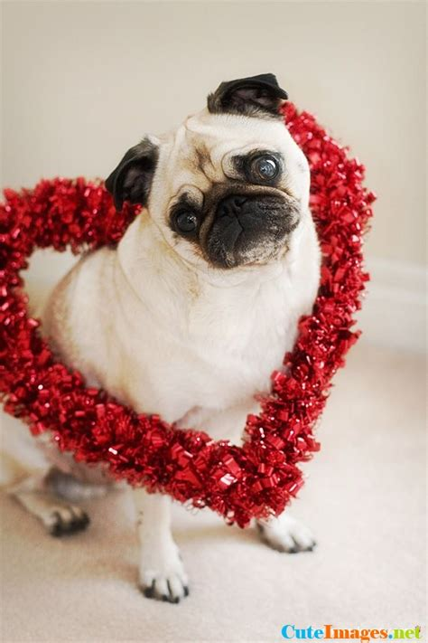 pug hearts pug in a flower cuteimages net
