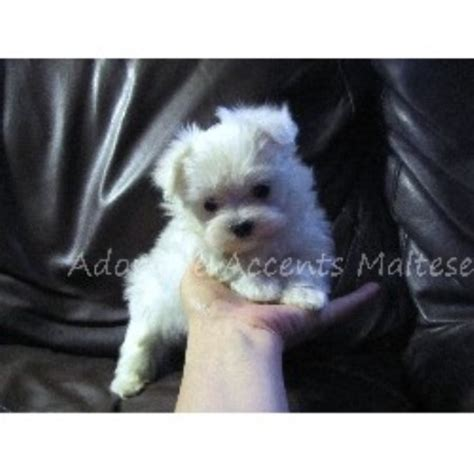 basenji puppies for sale nj adorable accents maltese maltese breeder in point pleasant new jersey