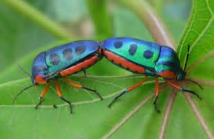 picture of insects file rainbow shield bugs on jatropha 5412717309 jpg