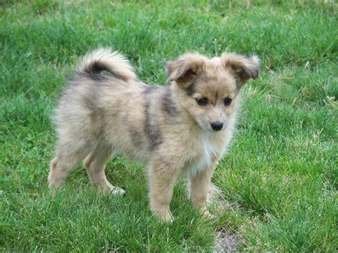 miniature australian shepherd puppies australian shepherd pictures collection dogs breeds and puppies reviews