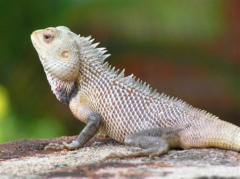 Garden Lizards by Reptile Research And Conservation Trust Of India Lizards