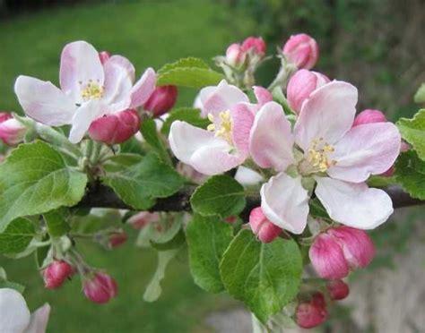 Obst Und Garten 5172 by 9 Besten Apfelbl 252 Ten Bilder Auf Suche
