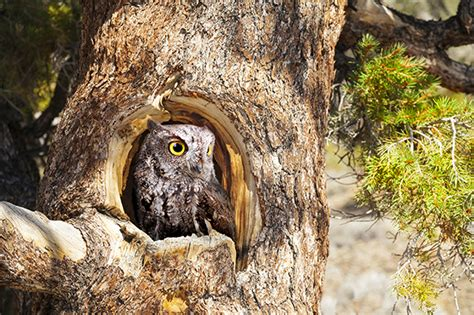 western screech owl facts habitat diet cycle baby