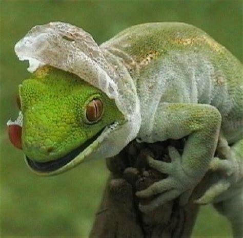 shedding gecko kingdom lagartos