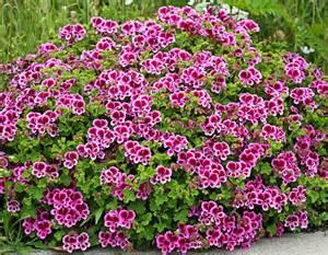 pelargonium veronica contreras buy online at annie s