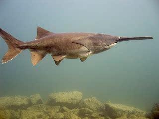 Ikan Polyodon Spatula za fish juli 2011