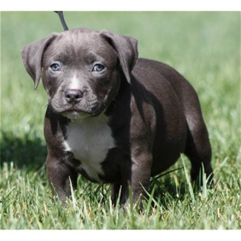 brown pitbull puppies 30 pit bull puppy pictures and images