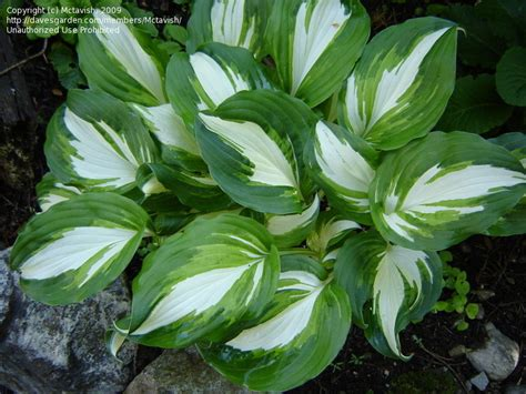 What Gardening Zone Am I In By Zip Code - plantfiles pictures hosta undulata univittata hosta by mctavish