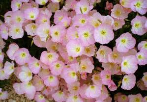 evening primrose flower pictures meanings pink evening primrose flowers