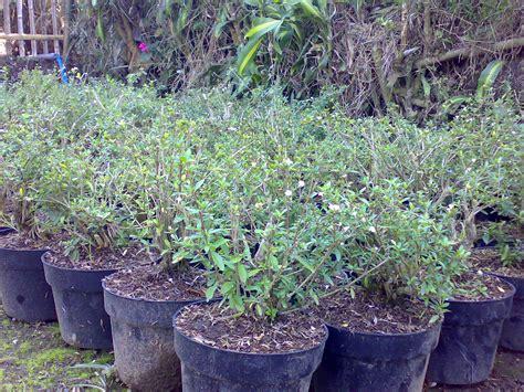 Tanaman Hias Bonsai Seribu Bintang 027 301 moved permanently