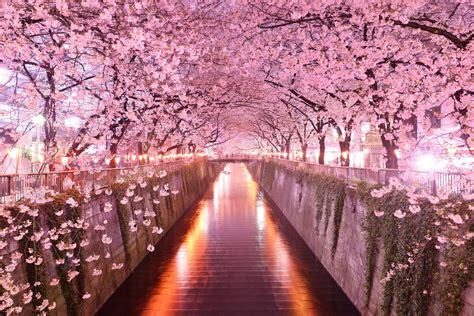 Japan Flower Tunnel by High Quality Images Of Sakura In Best Collection B Scb