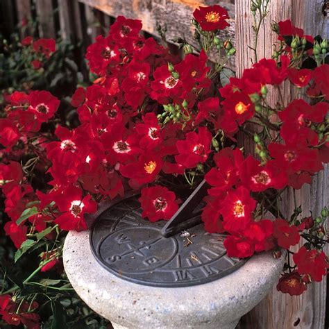 flower carpet rose red easy  grow bulbs