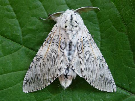 scow moth puss moth cerura vinula norfolk moths the macro and