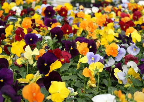 pansy colors select matrix delta pansies for pretty winter landscapes