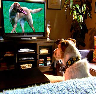 dog watching tv on couch 11 fantastic ways to keep your dog entertained while you