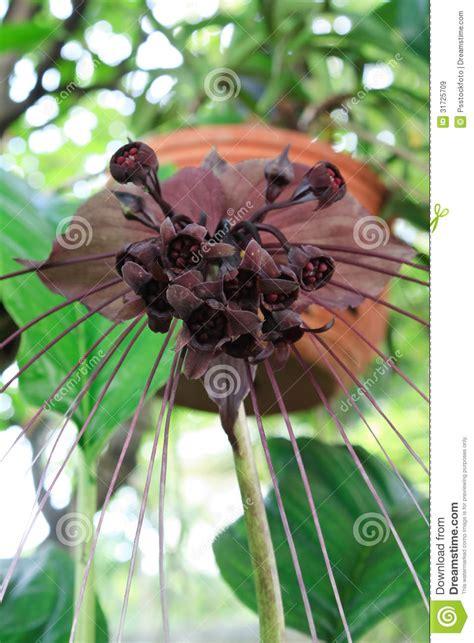 fiore pipistrello fiore pipistrello immagine stock immagine di turismo